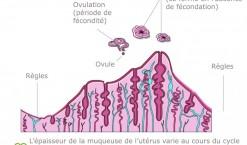 Ovulation : tout connaître sur le cycle féminin